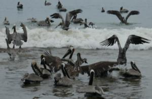 Pelikane unter sich